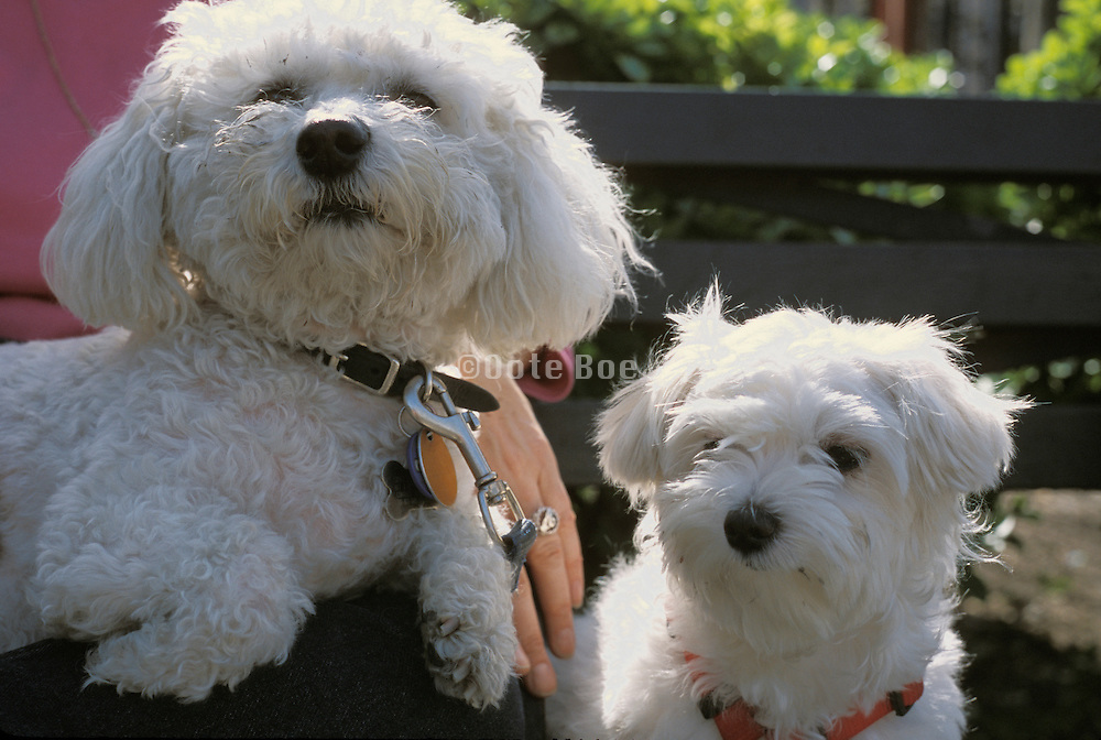 Two white little dogs one on a woman?s lap