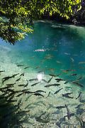Bonito_MS, Brasil...Bonito..Piraputangas no Rio da Prata..Foto: JOAO MARCOS ROSA / NITRO