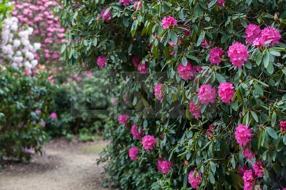 © Licensed to London News Pictures. 17/05/2016. Langley, UK. The colourful rhododendrons are flowering in the Temple Gardens in Langley Park, Buckinghamshire.  Once a royal hunting ground, the park has a historic links to King Henry VIII and Queen Victoria. Photo credit : Stephen Chung/LNP