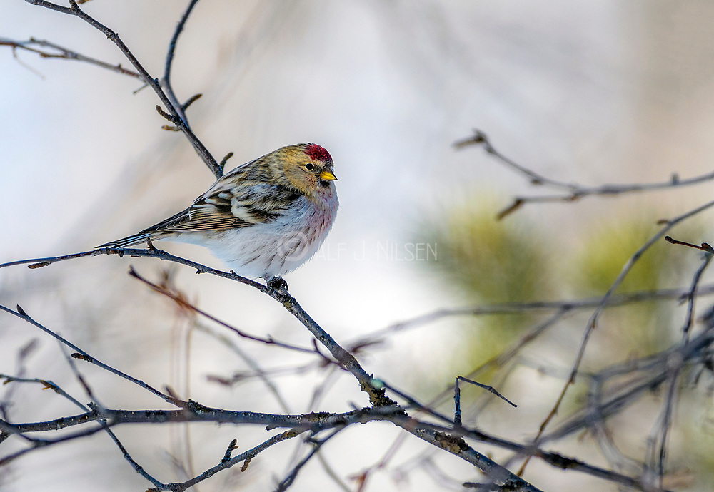 Arctic redpoll (Acanthis hornemanni) from Pasvik, Finnmark, Norway in March.
