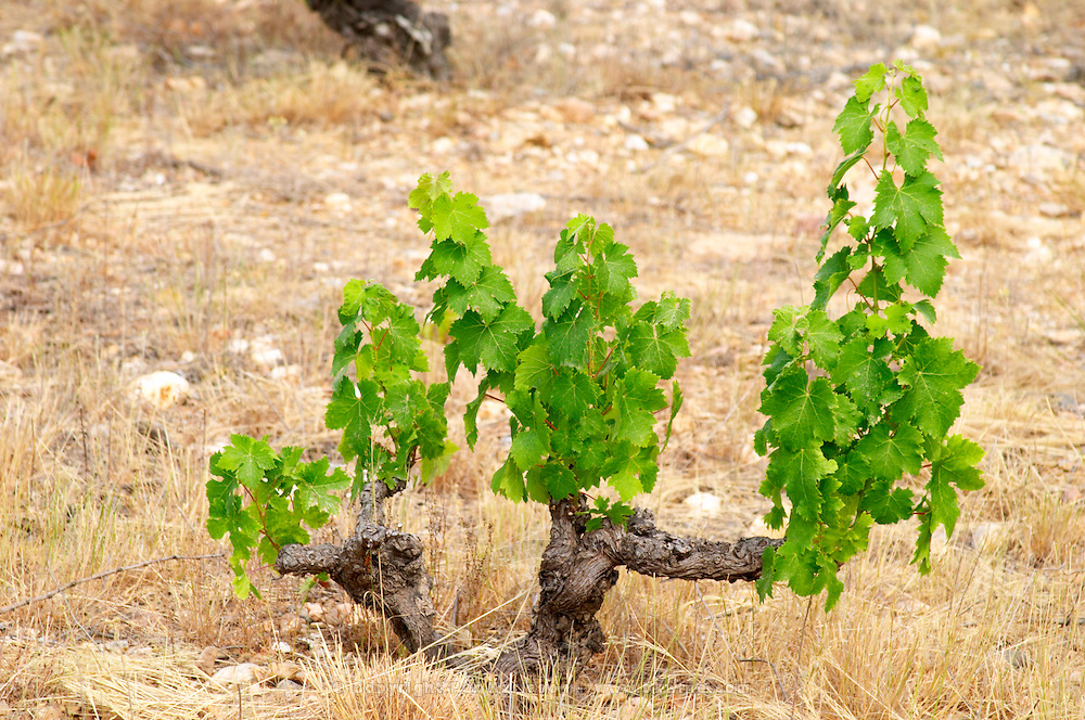 Domaine de Nidoleres. Roussillon. Vines trained in Gobelet pruning. Vine leaves. Muscat d'Alexandrie grape vine variety. In the area called Les Alberes. France. Europe. Vineyard.