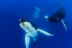 humpback whales, Megaptera novaeangliae, courtship behavior - female whale blows bubbles toward male as it approaches, Hawaii, Pacific Ocean