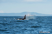 southern resident orca, or killer whale, Orcinus orca, swims past Victoria Harbor, off southern Vancouver Island, British Columbia, Strait of Juan de Fuca, Canada, with a  a container cargo ship in the background; container ship strikes are a significant cause of mortality to whales around the world