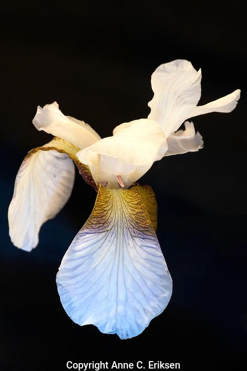 White iris with black background. Hvit iris.