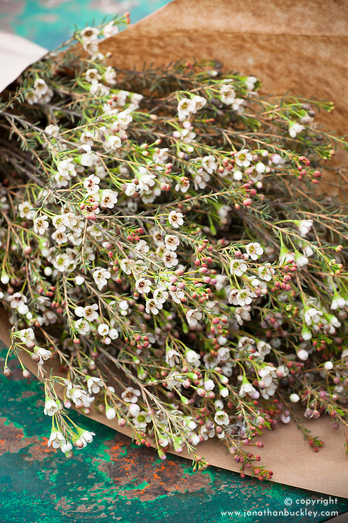 Waxflower wrapped in paper. Chamelaucium