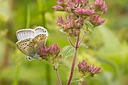 Male chalkhill blue butterfly (Lysandra coridon) on marjoram. Purbeck, Dorset.