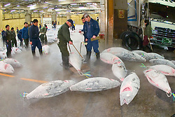 frozen tunas, Thunnus sp., being weighed for auction, Tsukiji Fish Market or Tokyo Metropolitan Central Wholesale Market, the world's largest fish market, hadling over 2, 500 tons and over 400 different kind of fresh sea food per day, Tokyo, Japan