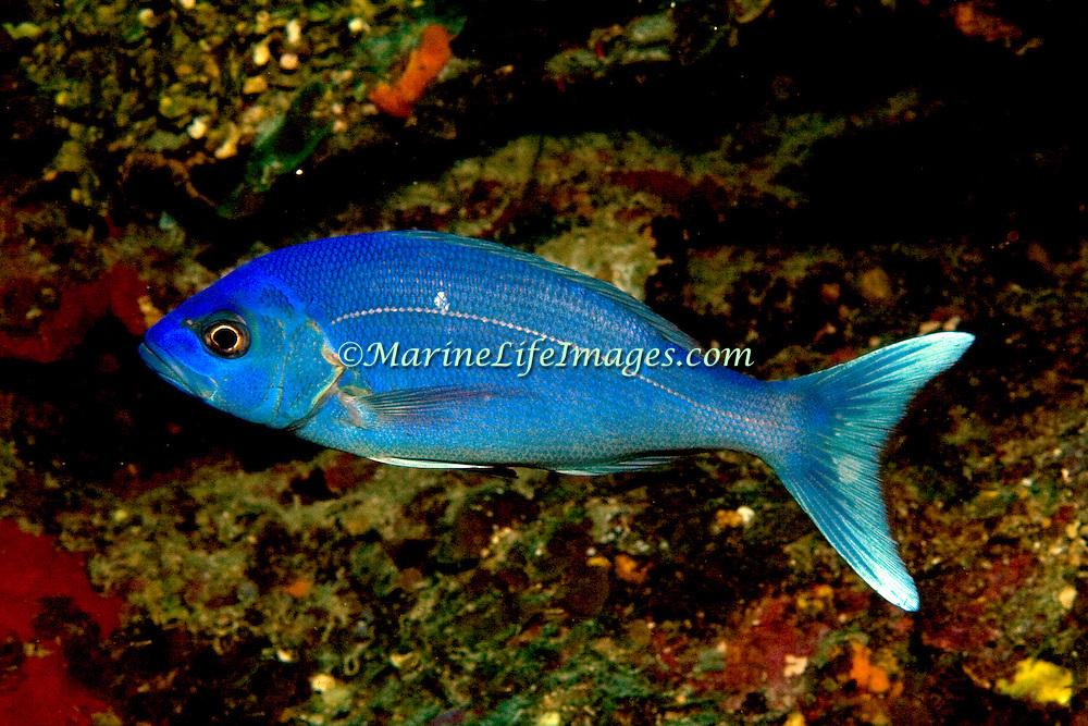 Black Snapper, juvenile & subadult, inhabiit moderately deep reefs in Tropical West Atlantic; picture taken Utila, Honduras.