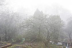 Magnolia stellata on a foggy morning at Glebe Cottage