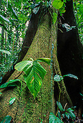 Rain forest in the Tambopata-Candamo Reserve in the Peruvian part of the Amazon Basin.