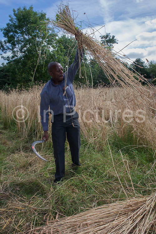 Local community volunteers help harvest the heritage wheat crop from the public Ruskin Park, on 8th August, 2016, in the south London borough of Lambeth, UK. The wheat has been growing in the parks long grass area, a corner where a variety of wheat such as Blue Cone Rivet, Rouge dEcosse and Old kent Red and others including from Ethiopia, have thrived. London heritage wheat specialist and baker Andy Forbes, will have his produce ground in the once-derelict windmill in Brixton, which, after Lottery funding, now serves the community as a working mill.
