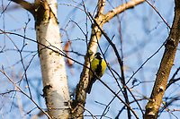 Sweden, Mjölkö island in the Stockholm Archipelago. Great tit.