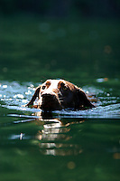 Dog swimming in lake near Squamish, BC, Canada