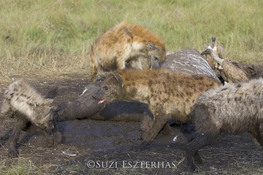 Spotted Hyena<br /> Crocuta crocuta<br /> Fighting at hippo kill<br /> Maasai Mara Reserve, Kenya