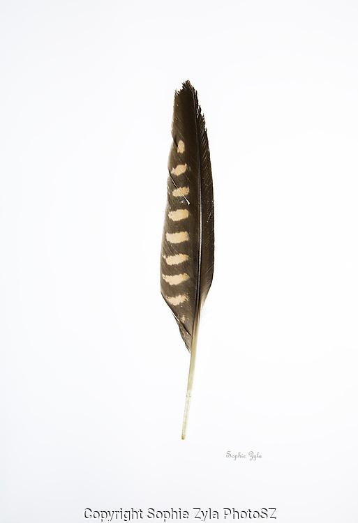 Peregrine Falcon Wing Feather