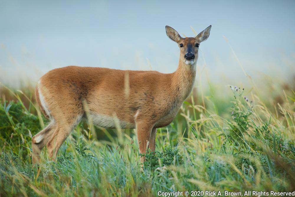 Columbia Whitetail Deer (Odocoileus virginianus leucurus) doe.