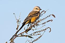 Scissor-tailed flycatcher (Tyrannus forficatus), Trinity River Audubon Center, Dallas, Texas, USA.