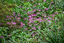 Erythronium revolutum in the woodland garden