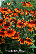 63821-151.20 Autumn Colors Black-eyed Susan (Rudbeckia hirta)  Marion Co. IL