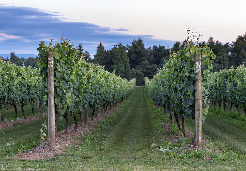Rows of grapes in the vineyard at the  Mount Lehman Winery in Abbotsford, British Columbia, Canada