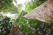 View up into canopy of Dipterocarp Treea in Peradayan Forest Reserve, Brunei