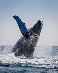 humpback whale, Megaptera novaeangliae, breaching, Hawaii, USA, Pacific Ocean.