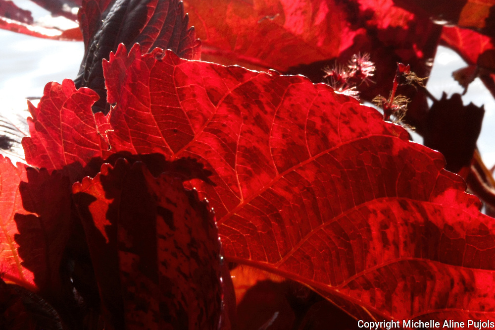 Red leave in the garden. Close up of fall leaves