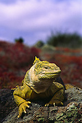 Land iguana, north Seymor Island, Galapagos Islands, Ecuador.
