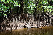 Mangrove shoots grow in the shallows of the Mossman River, Daintree, Australia