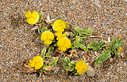 A group of Ononis variegata growing on a sandy beach at Alagadi Turtle Beach North Cyprus