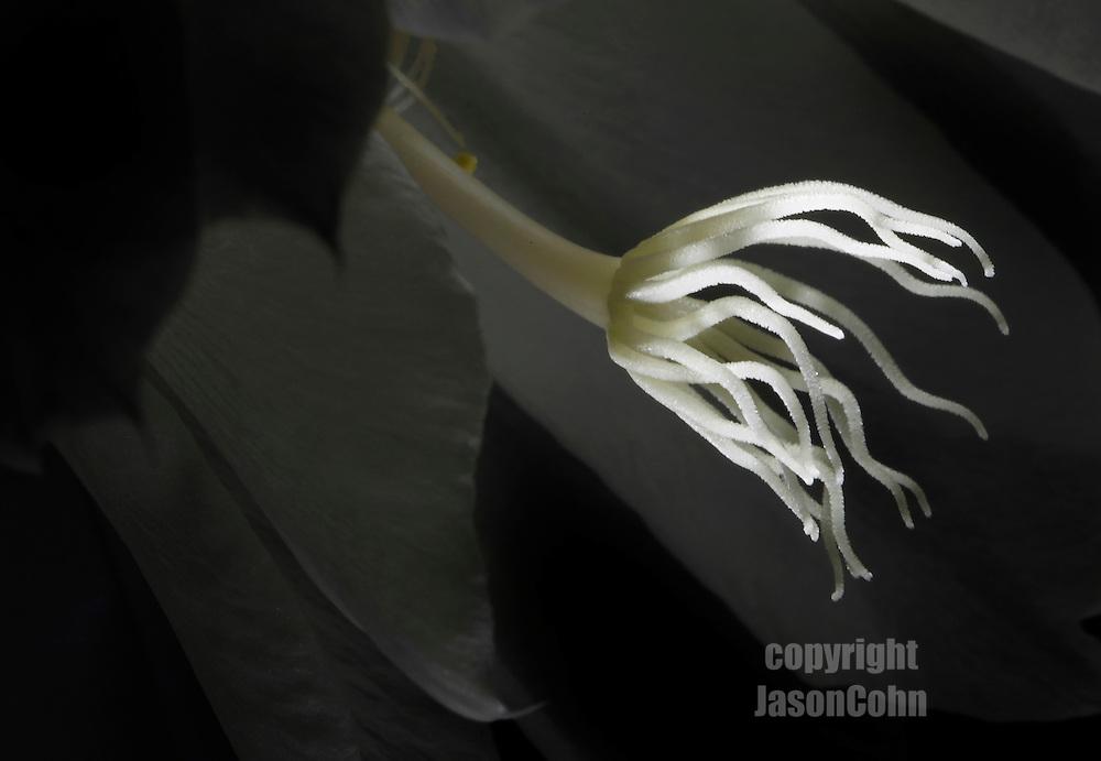 Night Blooming Cereus. Photo by Jason Cohn