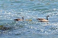 A pair of Canadian Geese (aka Canada Geese) swimming with their chicks in the Pacific Ocean, near Jenner, Sonoma County, California, USA. It is easily recognised with its distinctive a black head and neck, white patches on its face, and a brownish-gray body. 201304292081<br /> <br /> Copyright Image from Victor Patterson, 54 Dorchester Park, Belfast, UK, BT9 6RJ<br /> <br /> Tel: +44 28 9066 1296<br /> Mob: +44 7802 353836<br /> Voicemail +44 20 8816 7153<br /> Skype: victorpattersonbelfast<br /> Email: victorpatterson@me.com<br /> Email: victorpatterson@ireland.com (back-up)<br /> <br /> IMPORTANT: If you wish to use this image or any other of my images please go to www.victorpatterson.com and click on the Terms & Conditions. Then contact me by email or phone with the reference number(s) of the image(s) concerned.