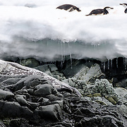 A Weddell seal rests on rocks on the shoreline at Hydrurga Rocks on Two Hummock Island on the western side of the Antarctic Peninsula. In the background, at top right, three Chinstrap penguins lie on the ice.