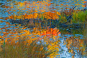 Reflection of autumn colored forest trees in pond of water lilies<br />Minden<br />Ontario<br />Canada