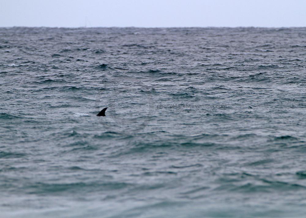 Bottle nose dolphins St Clair Beach, Dunedin, New Zealand