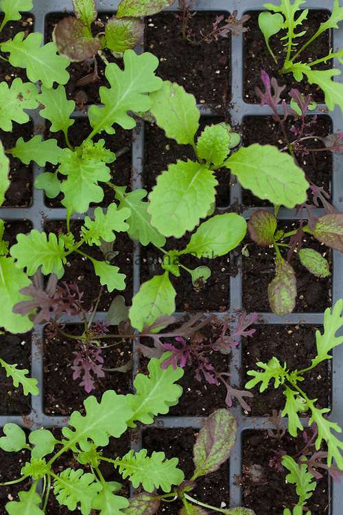 Salad Leaves Chiltern Seeds Mixes, 'Chiltern Seeds Fiery Mix'