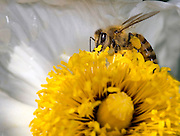 Close up of a honey bee collecting nectar from a flower