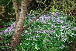 Cardamine quinquefolia - Cuckoo flower - growing around base of a tree.