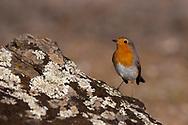 European robin, Erithacus rubecula, Parque Natural Sierra de Andujar, Andalucia, Spain
