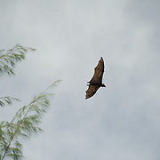 Flying fruit bat.