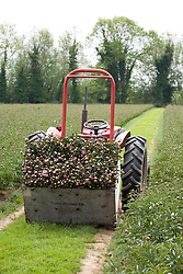 Tractor loaded with picked peonies on Lord Falmouth's estate, Kent