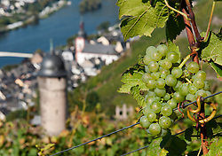 Grapes on vines in vineyard above Zell village on River Mosel in Germany