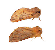 71.024 (2013)<br /> Plumed Prominent - Ptilophora plumigera