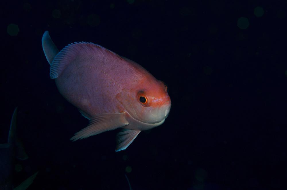Pink maomao, Caprodon longimanus