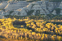 Golden cottonwood trees glow under the badlands of Theodore Roosevelt National Park.