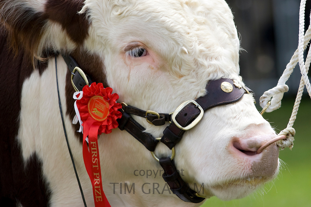 Hereford Bull, winner of first prize champion rosette at Three Counties Show agricultural event in Malvern, Worcestershire, England