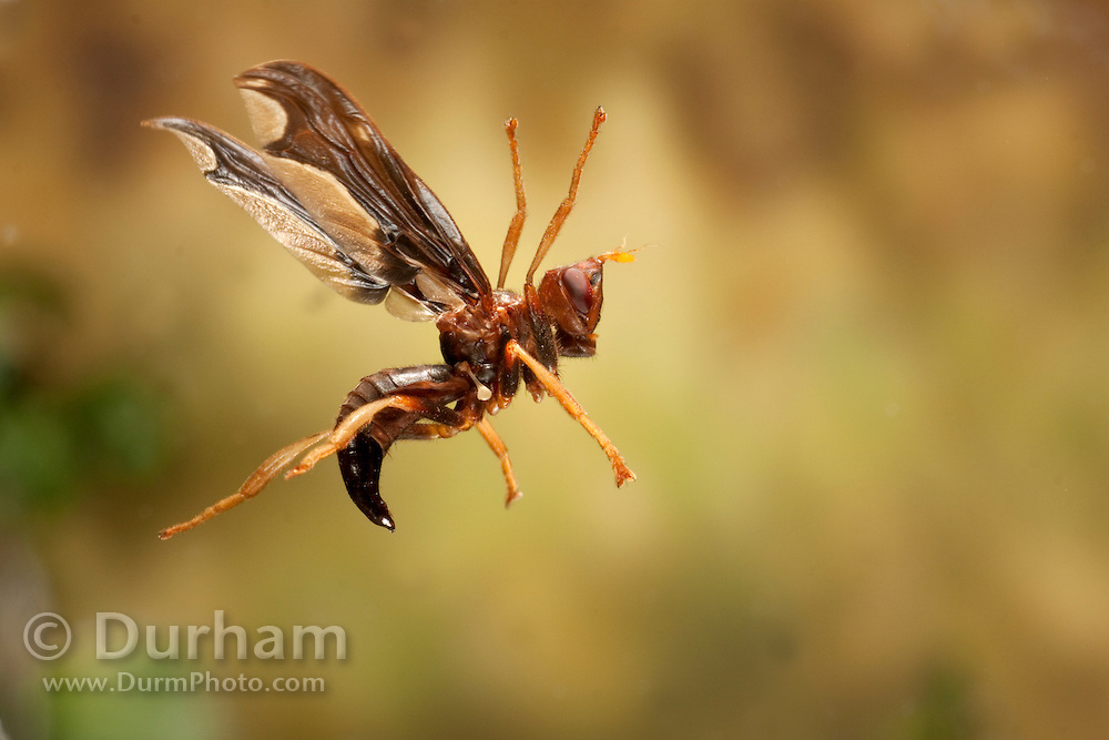 a parastic fly (Pyrgota undata) (family pyrgotidae) in flight. These flies will lay an egg on the adult june beetle while in flight. Central Texas.