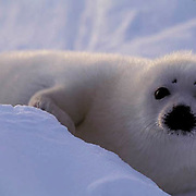 Harp Seal, (Pagophilus groenlandicus) Portrait of pup on ice pack. Nova Scotia. Canada. Spring.