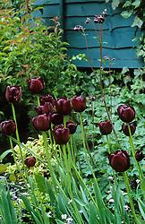 Tulipa 'Queen of Night' with a dark purple aquilegia.