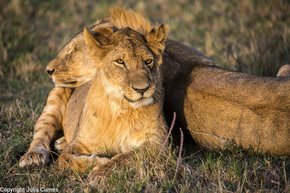 A male lion rests his head on his sister in Kenya's Masai Mara National Park.